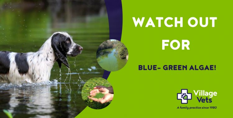 Blue -grean algae are dangerous to dogs