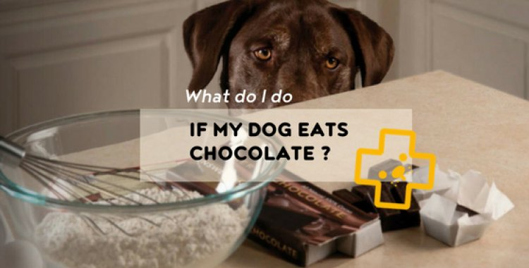 what if my dog eats chocolate?