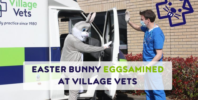 EASTER BUNNY EGGSAMINED AT VILLAGE VETS.