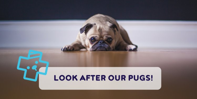 patrick the pug, pug health issues, flat-faced dogs